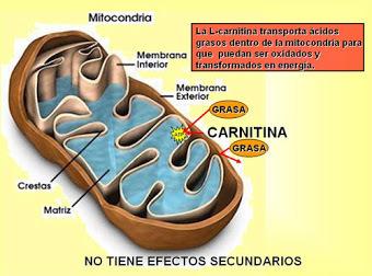 carnitina3