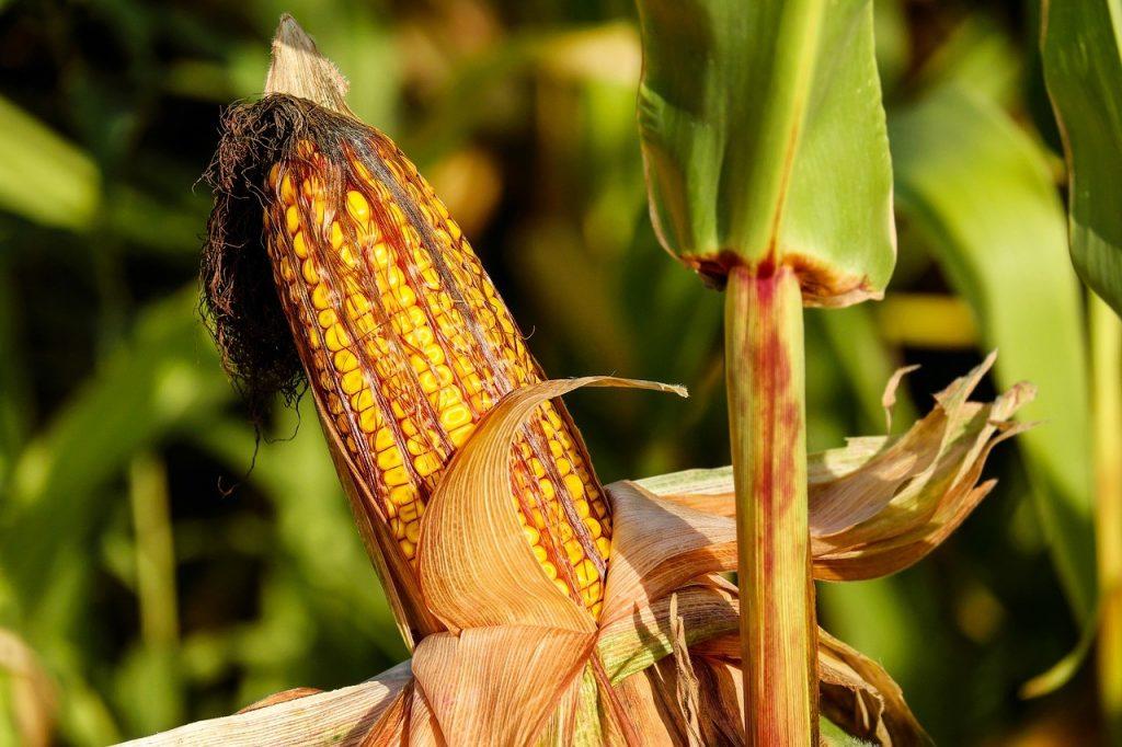 España, en cabeza en el cultivo de transgénicos