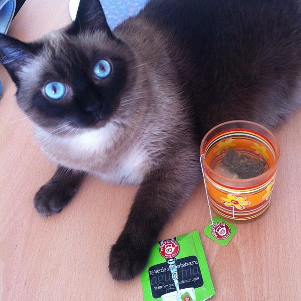 infusiones con gato