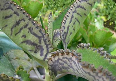 Kalanchoe una planta medicinal y terapéutica en ayurveda