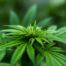 Cannabidiol cbd o cannabis sattiva