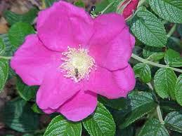 rosehipul este util în varicoză